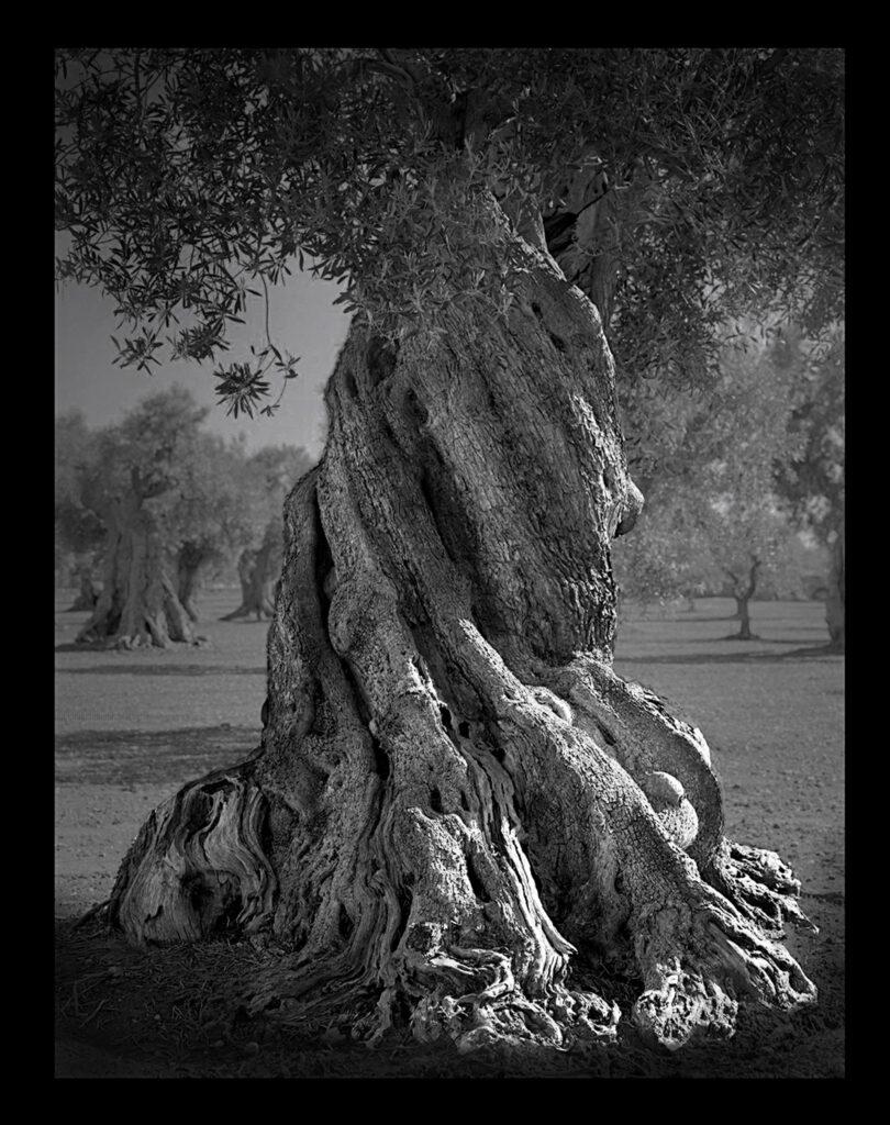 Gli ulivi di Puglia